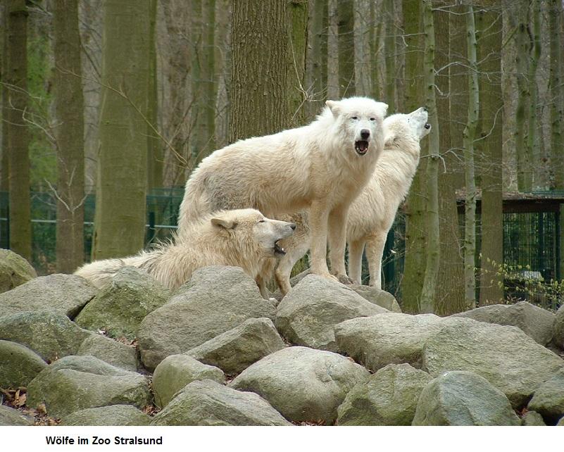 Wölfe-im-Zoo.jpg